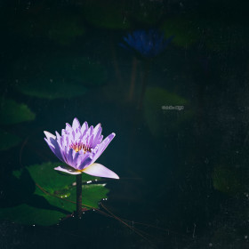 Lotus flower emerges from a murky pond