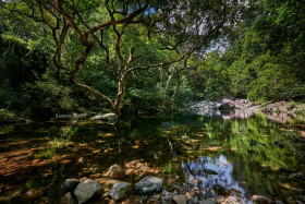 Beautiful Banyan Tree in Shing Mun Reservoir
