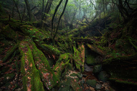 Misty forests of Yakushima