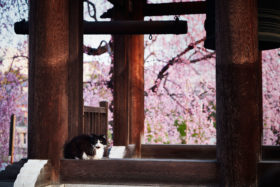 Cat guarding the temple during the sakura season