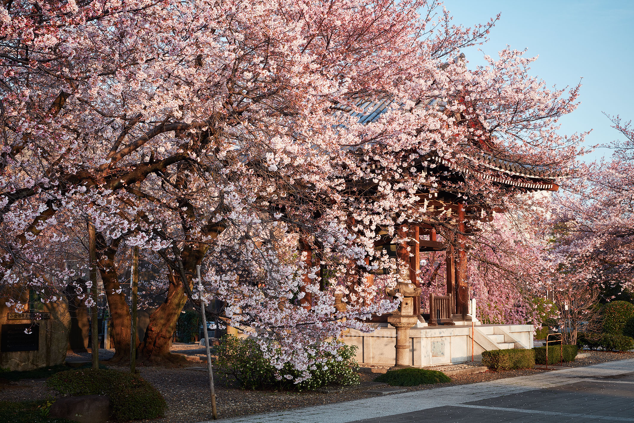 Sakura in full bloom in the morning